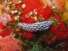 img 2935.jpg Nudibranche Phyllidiellia zeylandica à HQ Pinnacle, Narcondam, Andaman, Inde