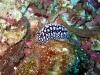 img 4866.jpg Nudibranche Phyllidiella nigra à Diatabang, Pulau Ternate,Indonésie