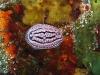 img 2825.jpg Nudibranche Phillidiopsis  krempfi à Invisible bank, Andaman, Inde