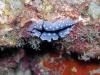 p 9110027.jpg Nudibranche Phyllidiopsis shireenae à Seaventures, Mabul, Sabah, Indonésie