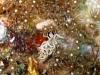 img 1879.jpg Nudibranche Phyllodesmium briareum à Flower beach resort housereef, Anda, Bohol, Philippines