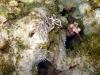 img 2106.jpg Nudibranches Phyllodesmium briareum à Tangub bay, Camiguin, Philippines