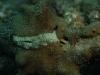 dscx 1179.jpg Limace de mer Plakobranchus ocellatus au Crater, Garove island, Vitu island, mer de Bismarck, PNG