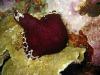 img 0226.jpg Limace de mer Pleurobranchus grandis à Lekuan VI, Bunaken, Sulawesi
