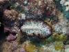dsc 0243.jpg Pseudobiceros fulgor à Flesko, Togians, Sulawesi