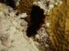 dsc 04636.jpg  Pseudobiceros hancockianus à Maagiri, Malé nord Atoll, Maldives  (photo Roland)