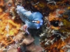 dsc 0257.jpg  Pseudoceros bifurcus à Meigan's reef, Milne bay, PNG