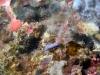dsc 0988.jpg Pseudoceros bifurcus à Kora kora, Togians, Sulawesi
