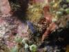 dsc 1011.jpg Pseudoceros bifurcus à Dondola 3, Togians, Sulawesi