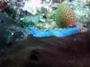 p 1000305.jpg Pseudoceros bifurcus à Cherrie's reef, Milne bay, PNG