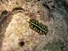 img 4788.jpgb Pseudoceros cf dimidiatus au House reef d'Alor divers, Indonésie