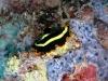p 9170414.jpg Pseudoceros dimidiatus à Mid-reef, Kapalaï, Sabah, Malaisie