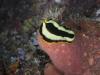 p 9300044.jpgv Pseudoceros dimidiatus à Sumbawa wall à Satonda island, Indonésie