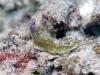 dsc 0668.jpg Pseudoceros gravieri à Cherrie's reef, Milne bay, PNG