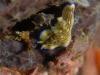 dsc 0715.jpg Pseudoceros gravieri à Tania's reef, Milne bay, PNG