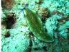 img 0507.jpgv Pseudoceros gravieri à Milne bay, PNG