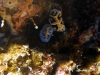 dsc 0735.jpg Nudibranches Reticulidia fungia à  Dondola, Togians, Sulawesi, Indonésie