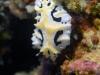 dsc 0766.jpg Nudibranche Reticulidia fungia à Dondola, Togians, Sulawesi, Indonésie