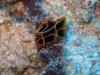 img 1897.jpg Nudibranche Reticulidia halgerda à Snappers cave, Anda, Bohol, Sulawesi, Indonésie