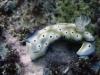 dsc 0622.jpg Nudibranches Risbecia tryoni à Cobb's cliff, Milne bay, PNG