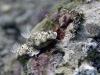 dsc 1029.jpg Nudibranches Risbecia tryoni à Tuare island, Kimbe bay, PNG