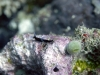 dsc 0664.jpg Nudibranche Roboastra gracilis à Cherrie's reef, Milne bay, PNG