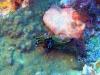 p 3270148.jpg Nudibranche Tambja affinis à Black rock, îles Mergui, Birmanie