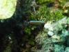 Limace de mer img 0255.jpg Thuridilla lineolata à Mike's point, Bunaken island, Sulawesi