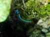Limace de merimg 0256.jpg  Thuridilla lineolata à Mike's point, Bunaken island, Sulawesi
