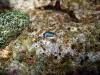 img 0380.jpg Limace de mer Thuridilla lineolata à Mandarin fish, Lembeh, Sulawesi
