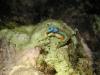 pb 250157.jpg Limace de mer Thuridilla lineolata à Blond island, Camiguin, Philippines