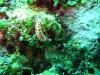img 0082.jpg Ver plat non identifié à Cherrie's reef, Milne bay, PNG