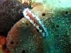 img 0490.jpg Ver plat non identifié à Tania's reef, Milne bay, PNG