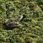Grenouille Rana esculenta dans des fougères aquatiques à Dubro