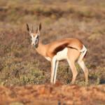 Sprinbok,Antidorcasmarsupialis dans le Karoo