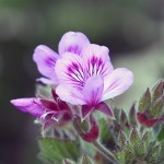 Pelargonium cucullatum à Roii-Els