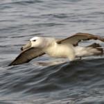L'envol de l'albatros de Stead