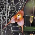 Orchidées Masdevallia au Jardin botanique de Quito